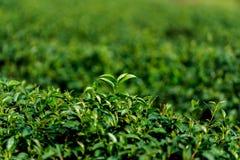 Φρέσκα φύλλα τσαγιού κινηματογραφήσεων σε πρώτο πλάνο πράσινα στη φυτεία Στοκ Φωτογραφίες
