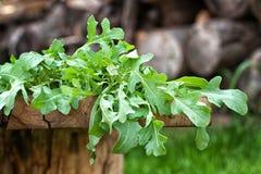 Φρέσκα φύλλα arugula στοκ εικόνες