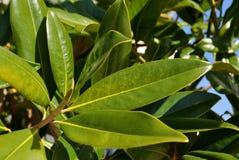 Φρέσκα φύλλα magnolia Στοκ φωτογραφία με δικαίωμα ελεύθερης χρήσης