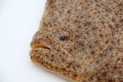Φρέσκα ψάρια καλκανιών Στοκ Εικόνες