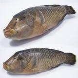 Φρέσκα ψάρια πάνθηρων Στοκ εικόνες με δικαίωμα ελεύθερης χρήσης