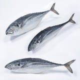 Φρέσκα ψάρια Cencaru Στοκ εικόνα με δικαίωμα ελεύθερης χρήσης