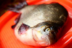 Φρέσκα ψάρια IDE Στοκ φωτογραφία με δικαίωμα ελεύθερης χρήσης