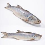 Φρέσκα ψάρια Senangin Στοκ φωτογραφία με δικαίωμα ελεύθερης χρήσης