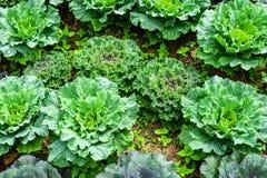Φρέσκα ωριμάζοντας κεφάλια πράσινων λάχανων που αυξάνονται στο φυτικό αγρόκτημα στοκ εικόνες