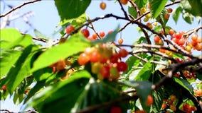 Φρέσκα, ώριμα, κόκκινα, εύγευστα κεράσια σε ένα δέντρο κερασιών Ταλάντευση κλάδων και φύλλων δέντρων κερασιών από το φυσώντας αέρ φιλμ μικρού μήκους