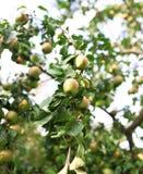 Φρέσκα ώριμα μήλα στο δέντρο στο θερινό κήπο Συγκομιδή της Apple Στοκ φωτογραφίες με δικαίωμα ελεύθερης χρήσης