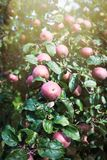 Φρέσκα ώριμα μήλα στο δέντρο στο θερινό κήπο Συγκομιδή της Apple Στοκ Εικόνα