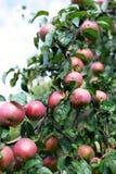 Φρέσκα ώριμα μήλα στο δέντρο στο θερινό κήπο Συγκομιδή της Apple Στοκ Εικόνες