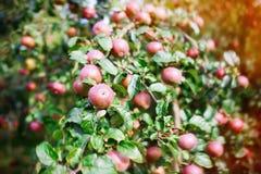 Φρέσκα ώριμα μήλα στο δέντρο στο θερινό κήπο Συγκομιδή της Apple Στοκ Φωτογραφίες