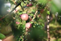Φρέσκα ώριμα μήλα στο δέντρο στο θερινό κήπο Συγκομιδή της Apple Στοκ εικόνα με δικαίωμα ελεύθερης χρήσης