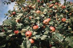 Φρέσκα ώριμα μήλα στο δέντρο στο θερινό κήπο Συγκομιδή της Apple Στοκ Φωτογραφία