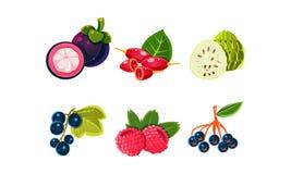 Φρέσκα ώριμα φρούτα και σύνολο μούρων, mangosteen, μήλο ζάχαρης, synsepalum, σταφίδα, σμέουρο, μαύρο chokeberry διάνυσμα διανυσματική απεικόνιση