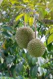 Φρέσκα durians Στοκ εικόνα με δικαίωμα ελεύθερης χρήσης