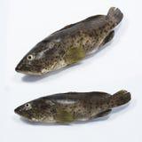 Φρέσκα Grouper ψάρια Στοκ εικόνα με δικαίωμα ελεύθερης χρήσης