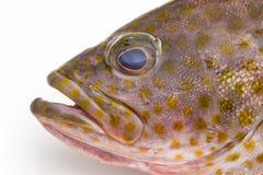 Φρέσκα grouper areolate (areolatus epinephelus) ψάρια Στοκ Εικόνες