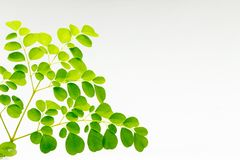 Φρέσκα moringa φύλλα Στοκ Εικόνες