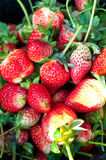 Φρέσκα strawbarries Στοκ φωτογραφία με δικαίωμα ελεύθερης χρήσης