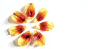 φρέσκα tulippetals Στοκ Φωτογραφίες