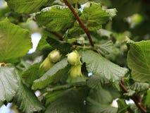Φρέσκα Unripe φουντούκια στον κλάδο δέντρων καρυδιών στοκ εικόνες