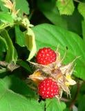 φρέσκες άγρια περιοχές rasberries Στοκ Φωτογραφία
