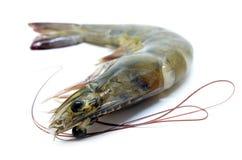 φρέσκες γαρίδες ακατέργ&al Στοκ Φωτογραφία