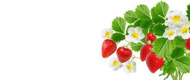Φρέσκες κόκκινες νόστιμες φράουλες κήπων στοκ εικόνα με δικαίωμα ελεύθερης χρήσης