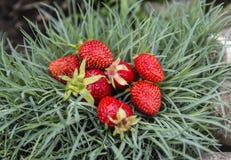 Φρέσκες κόκκινες οργανικές φράουλες που αυξάνονται από το θάμνο Στοκ Εικόνες