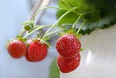 φρέσκες κόκκινες φράουλες Στοκ εικόνες με δικαίωμα ελεύθερης χρήσης