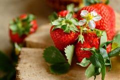 Φρέσκες κόκκινες φράουλες συγκομιδών την άνοιξη Στοκ φωτογραφία με δικαίωμα ελεύθερης χρήσης