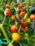 Φρέσκες μικροσκοπικές ντομάτες Στοκ Εικόνες