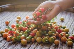Φρέσκες ντομάτες στο χέρι mand Στοκ Εικόνες