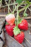 φρέσκες οργανικές φράουλες Στοκ εικόνες με δικαίωμα ελεύθερης χρήσης