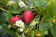 Φρέσκες οργανικές φράουλες σε έναν τομέα Στοκ Φωτογραφία