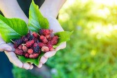 Φρέσκες οργανικές ώριμες μουριές στα χέρια Νόστιμο γλυκό μούρο στην έ στοκ φωτογραφία με δικαίωμα ελεύθερης χρήσης