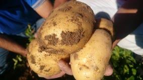 Φρέσκες πατάτες, καθαρός οργανικός Στοκ Φωτογραφίες