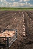 Φρέσκες πατάτες σε ένα ξύλινο κιβώτιο στο έδαφος Στοκ Εικόνες