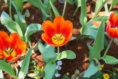 Φρέσκες πορτοκαλιές τουλίπες Στοκ Εικόνα
