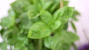 Φρέσκες πράσινες εγκαταστάσεις βασιλικού - αρωματικές εγκαταστάσεις - βοτανικός κήπος απόθεμα βίντεο