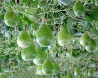 Φρέσκες πράσινες κολοκύθες Calabash Στοκ φωτογραφίες με δικαίωμα ελεύθερης χρήσης