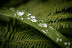 Φρέσκες πτώσεις βροχής στα φύλλα χλόης και φτερών Στοκ Φωτογραφίες