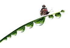 Δροσιά και πεταλούδα Στοκ φωτογραφία με δικαίωμα ελεύθερης χρήσης