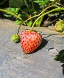 Φρέσκες φράουλες ανακαλύψεων Στοκ Φωτογραφία
