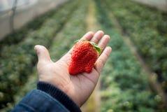 Φρέσκες φράουλες που τοποθετούνται σε διαθεσιμότητα Στοκ Εικόνα