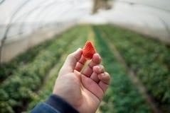 Φρέσκες φράουλες που τοποθετούνται σε διαθεσιμότητα Στοκ εικόνες με δικαίωμα ελεύθερης χρήσης
