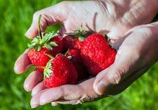 Φρέσκες φράουλες στα χέρια γυναικών Στοκ Εικόνες
