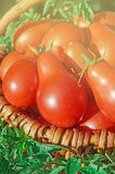 Φρέσκες ώριμες κόκκινες κόκκινες ντομάτες αχλαδιών σε ένα καλάθι στον κήπο Στοκ Εικόνες