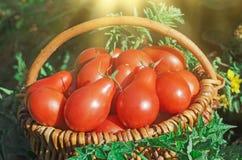 Φρέσκες ώριμες κόκκινες κόκκινες ντομάτες αχλαδιών σε ένα καλάθι στον κήπο Στοκ Φωτογραφία