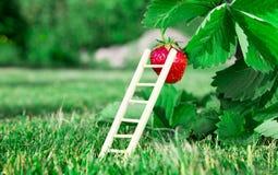 Φρέσκες ώριμες κόκκινες φράουλα και σκάλα που κλίνουν ενάντια σε ένα μούρο Ο Μπους αυξάνεται στον κήπο κορυφαία ποιότητα, έννοια  Στοκ Εικόνα
