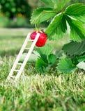Φρέσκες ώριμες κόκκινες φράουλα και σκάλα που κλίνουν ενάντια σε ένα μούρο Ο Μπους αυξάνεται στον κήπο κορυφαία ποιότητα, έννοια  Στοκ εικόνα με δικαίωμα ελεύθερης χρήσης